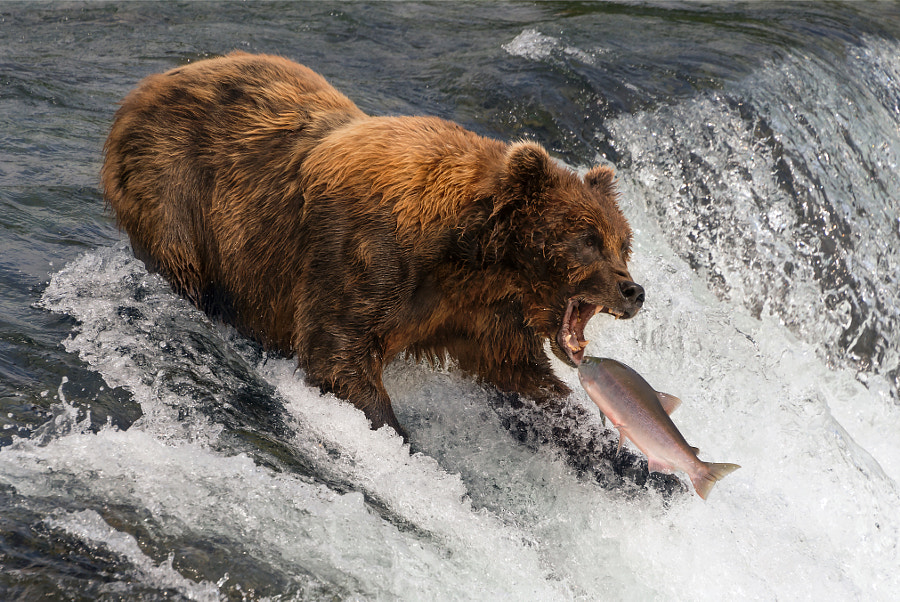Bear about to catch salmon in mouth by Nick Dale on 500px.com