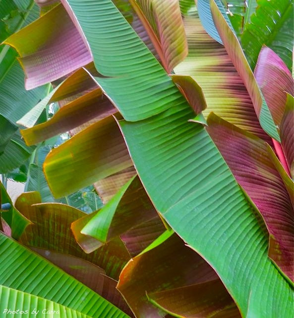 Photograph Banana Leaves by Carra Riley on 500px