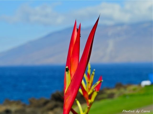Photograph  Tropical Maui Flower by Carra Riley on 500px