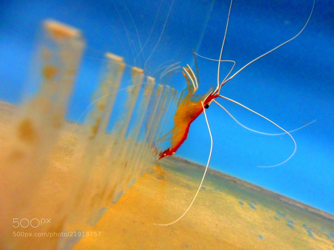 Photograph Shrimp 1 by JC Gafford on 500px