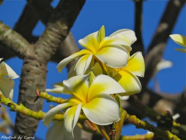 Photograph Plumeria by Carra Riley on 500px