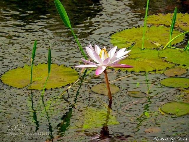 Photograph Lotus Flower by Carra Riley on 500px