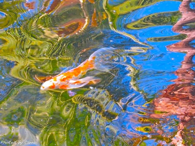 Photograph Koi fish in reflections  by Carra Riley on 500px