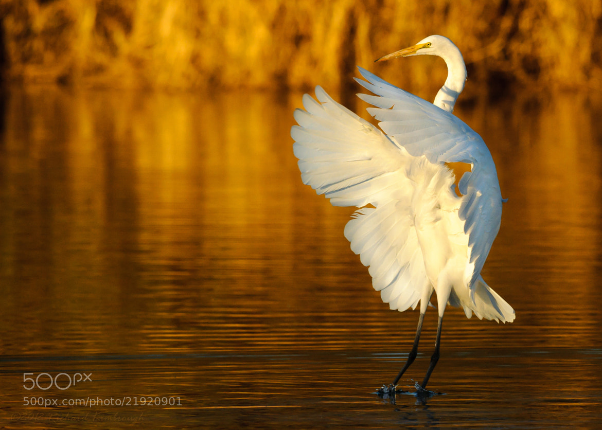 Photograph Great Egret Dancing at Sunset by Richard Kimbrough on 500px