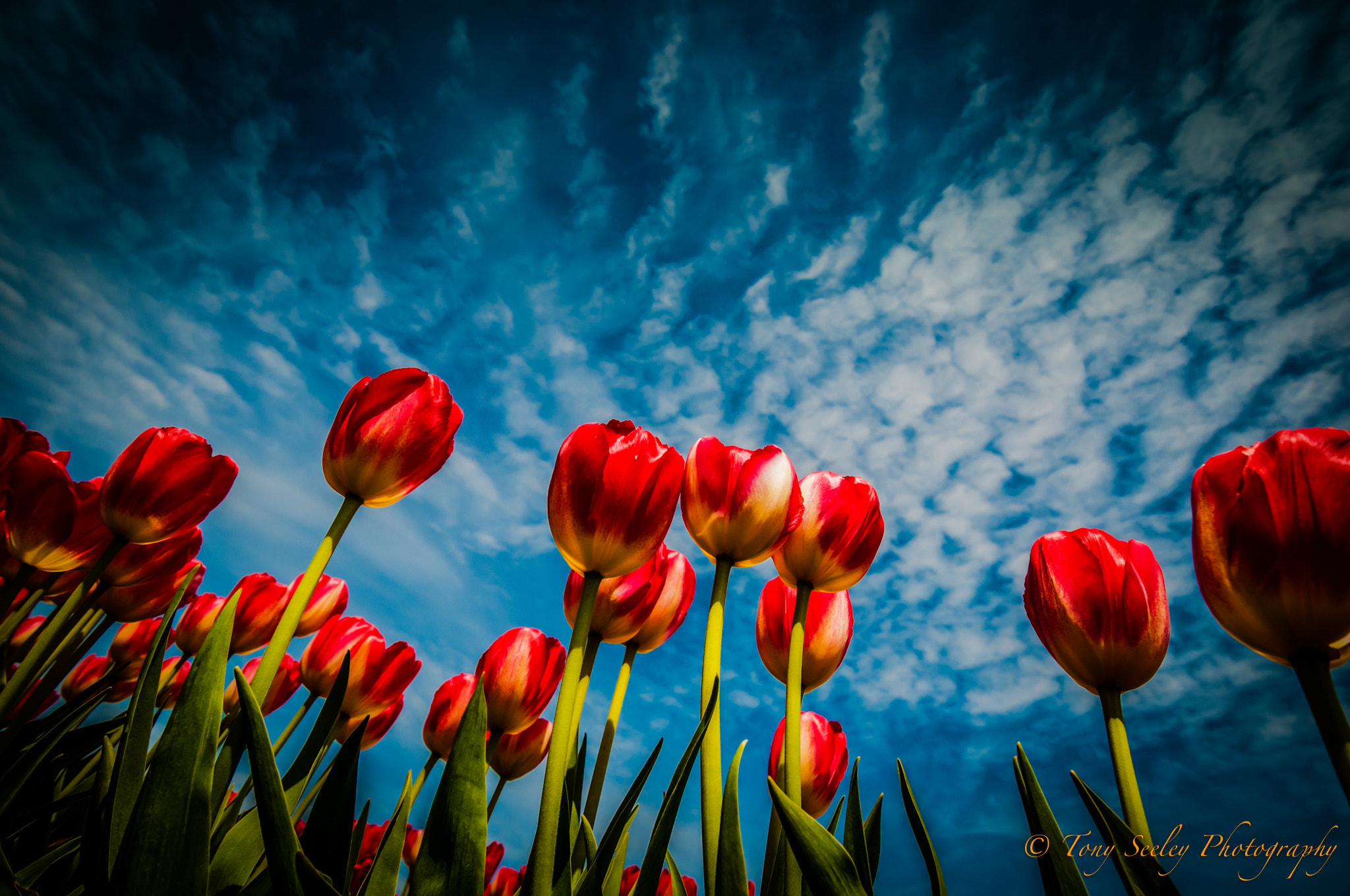 Photograph Tulips by Tony Seeley on 500px