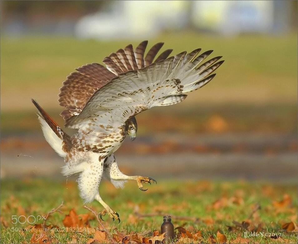 Photograph The Hawk Dance by Eddie Yu on 500px