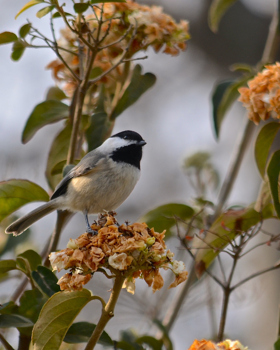 Photograph Chickadee by Steven Bach on 500px