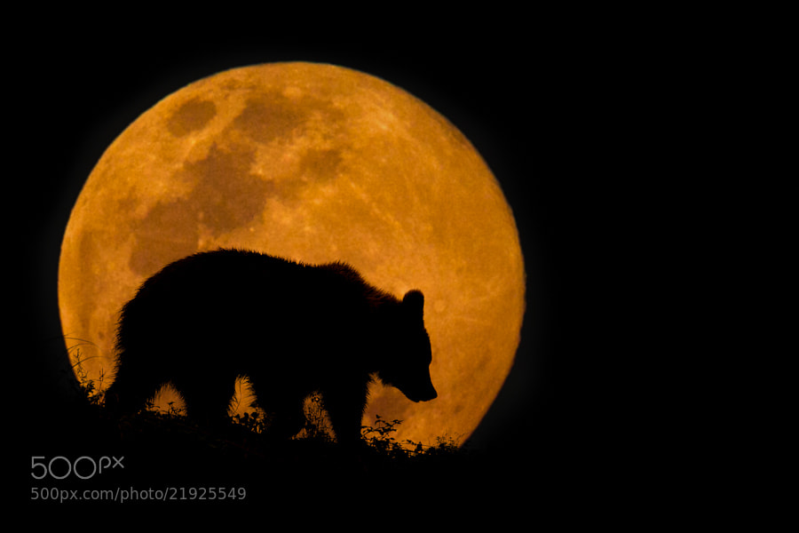 Photograph The Bear & The Moon by Mario Moreno on 500px
