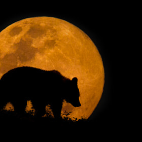 The Bear & The Moon by Mario Moreno (mariomoreno)) on 500px.com