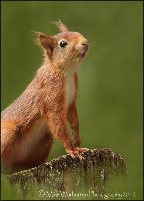Photograph Red Squirrel by Mike Warburton on 500px