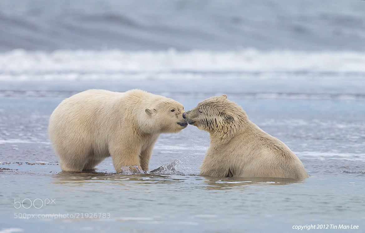 Photograph Polar Bears Kissing by Tin Man on 500px