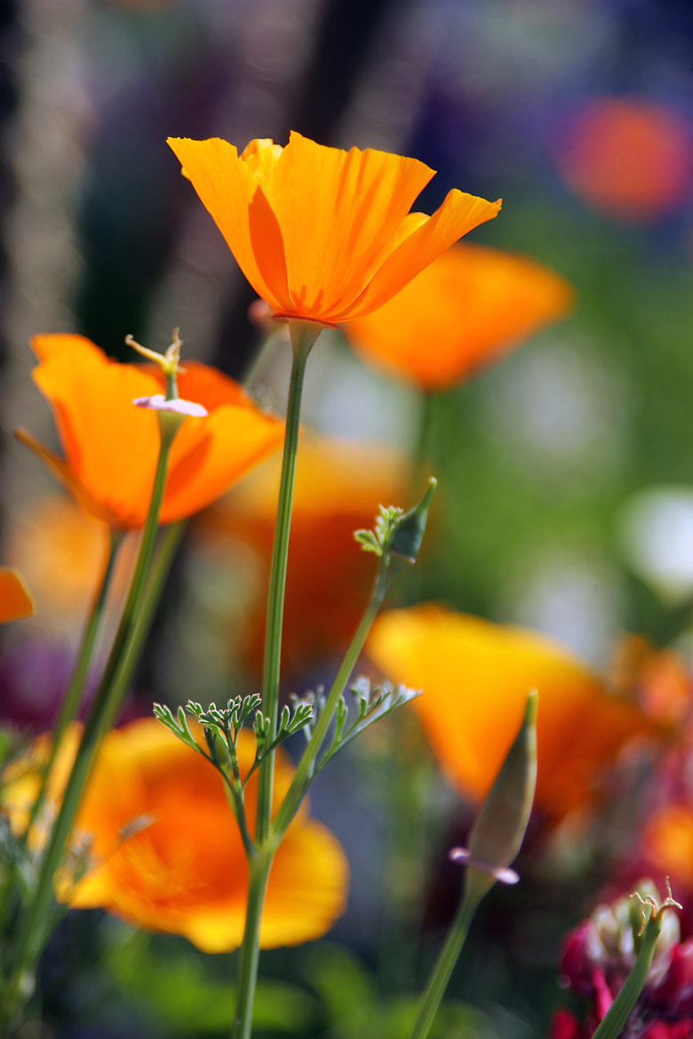 Photograph California Poppys by Ron Peregrim on 500px