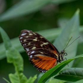 Ei Ei Ei ein Butterfly