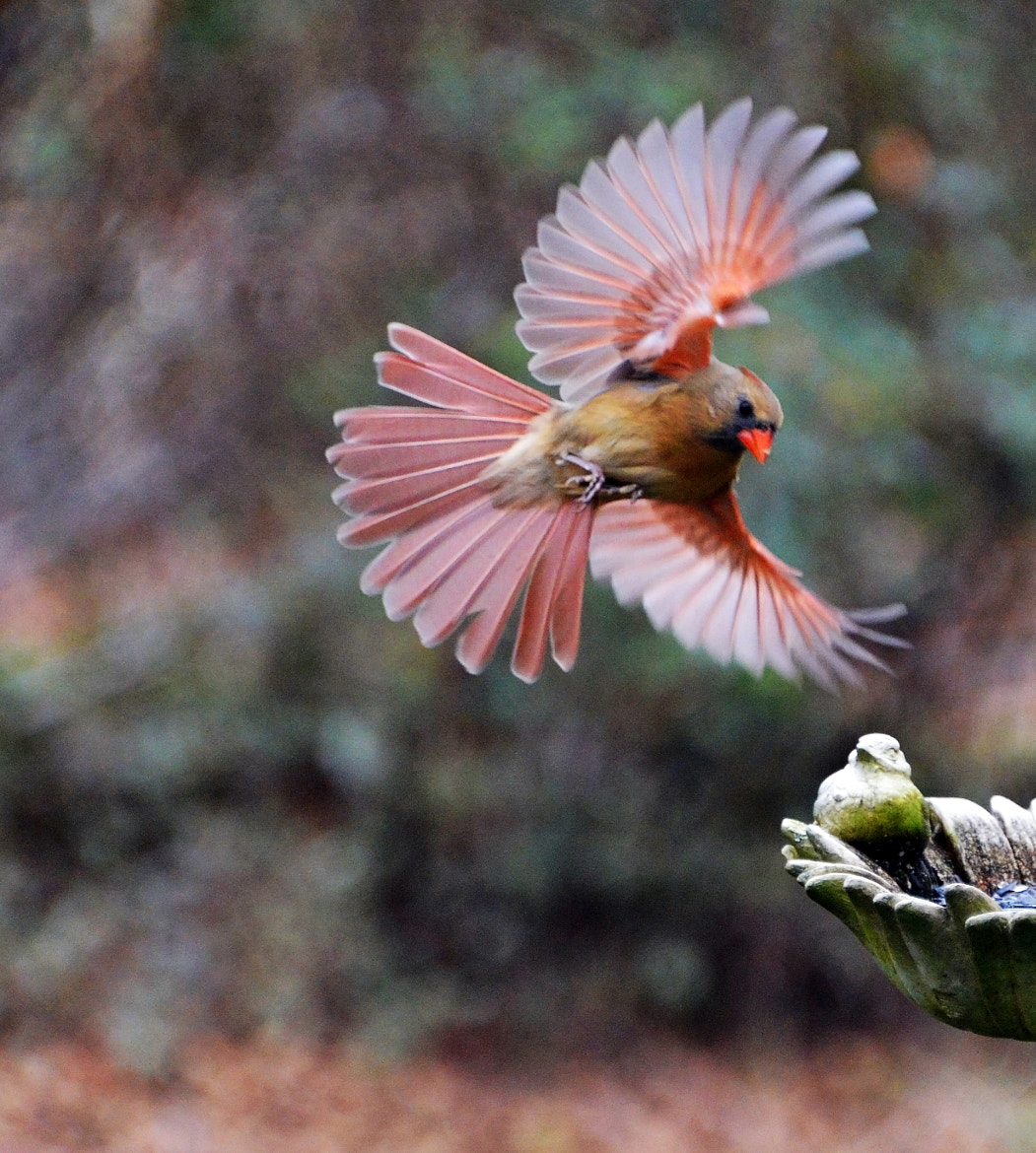 Photograph Incoming Cardinal by Mark Luftig on 500px