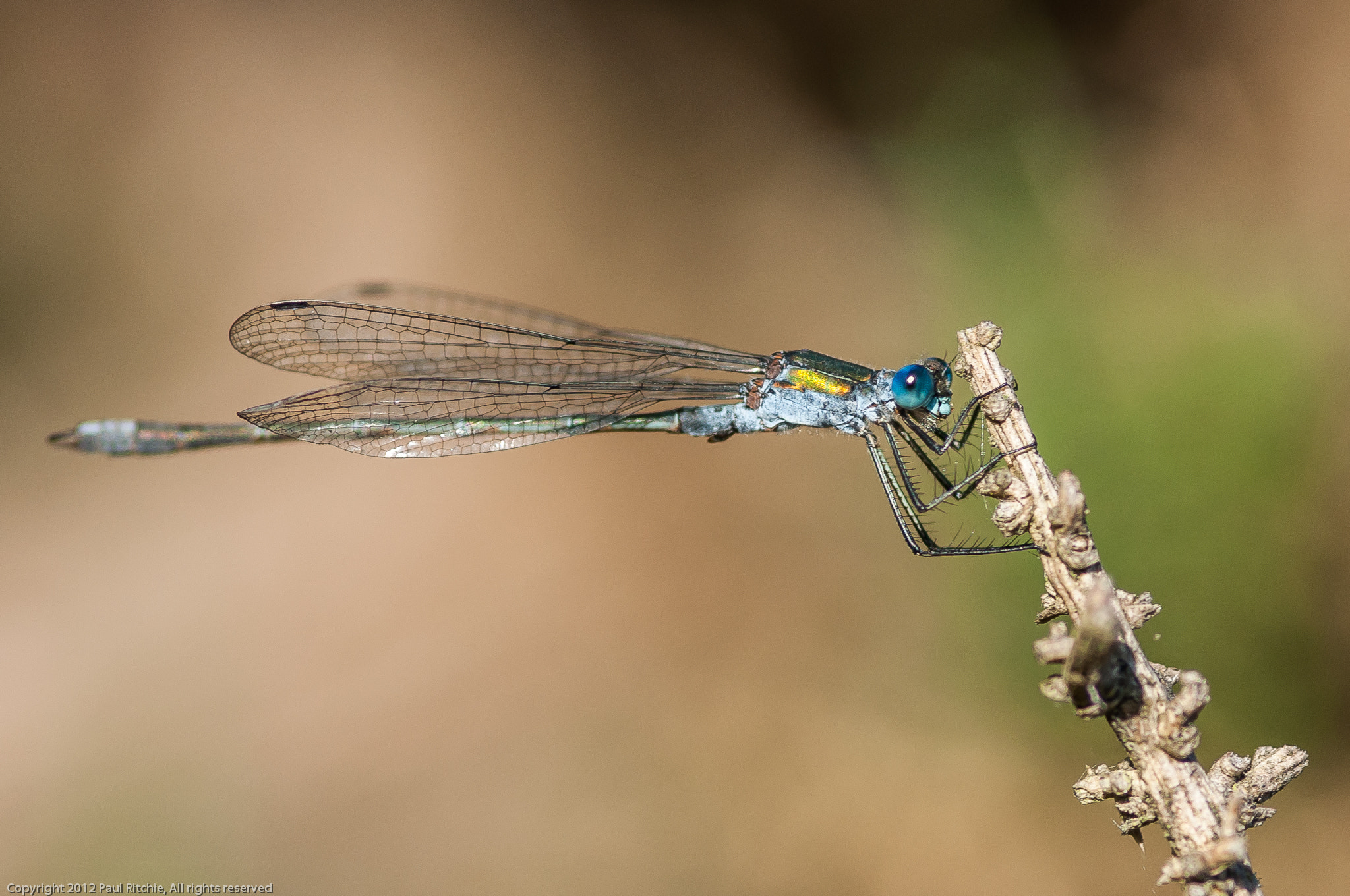 Photograph Male Emerald Damselfly by Paul Ritchie on 500px