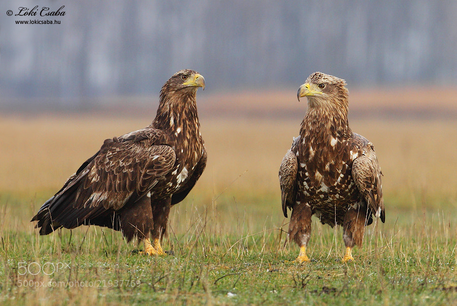 Photograph Eagles by Csaba Loki on 500px