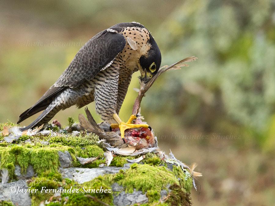 Photograph Falco eating by Javier Fernández Sánchez on 500px