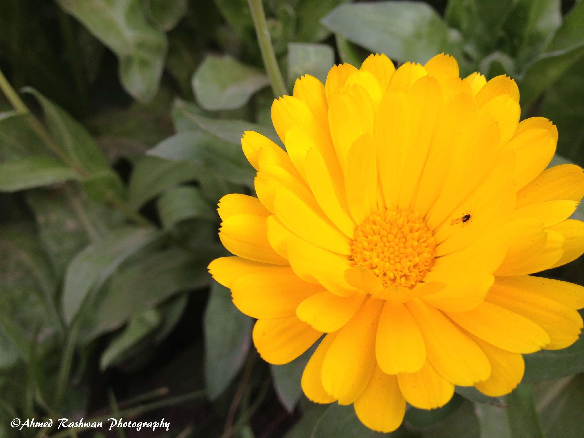 Photograph Beetle on Sunflower for lunch by Ahmed Rashwan on 500px
