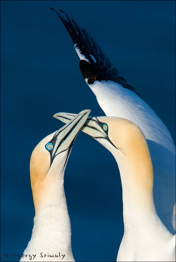 Photograph Northern Gannet (Morus bassanus) by Gyorgy Szimuly on 500px