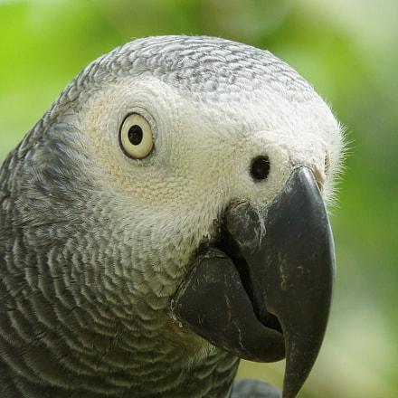 Grey Parrot, Psittacus erithacus