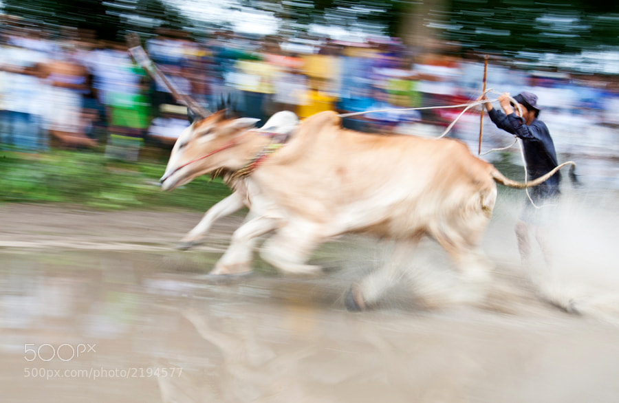 Photograph cow racing by Haipiano Nguyen on 500px