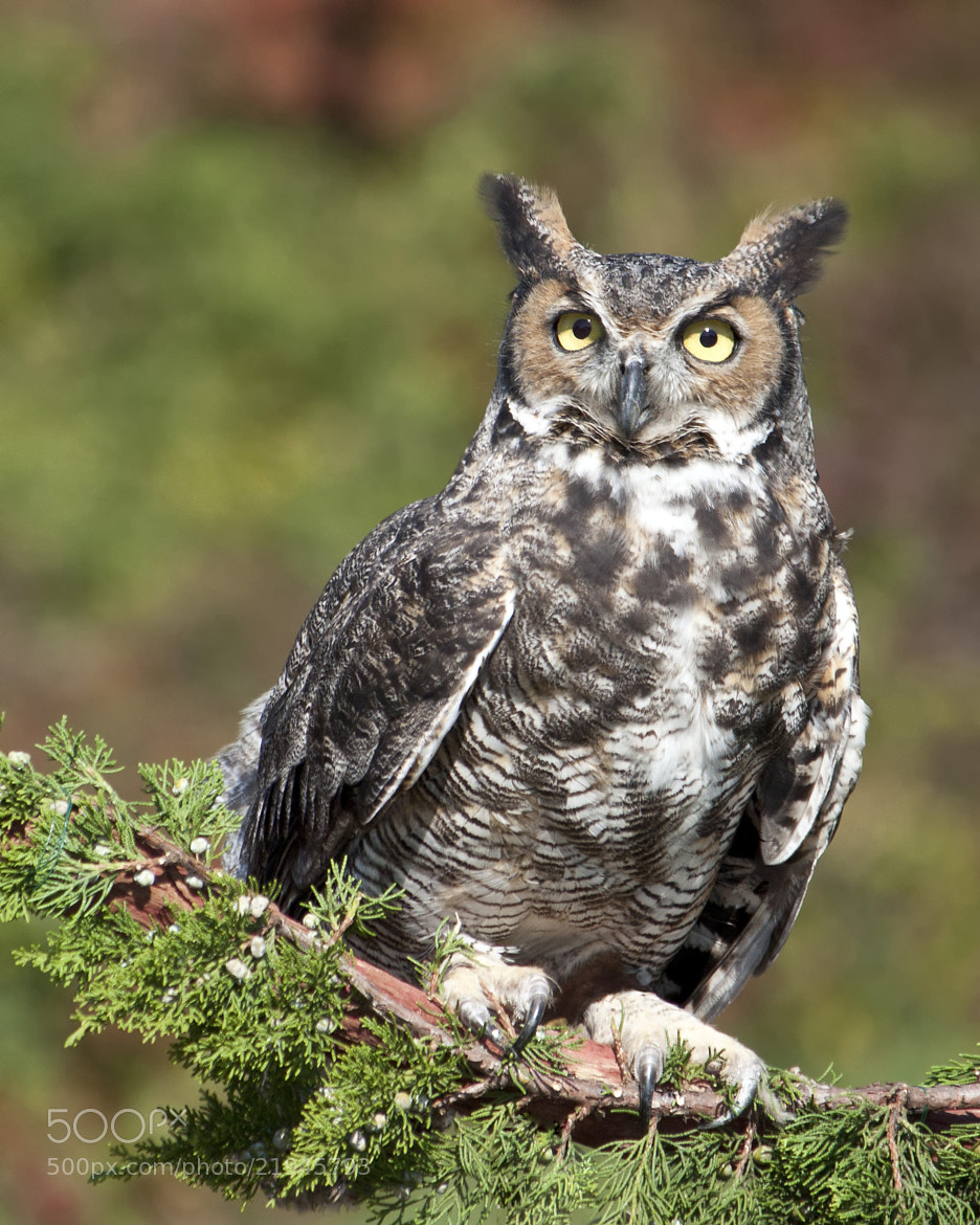 Photograph  Great Horned Owl by Bill McBride on 500px