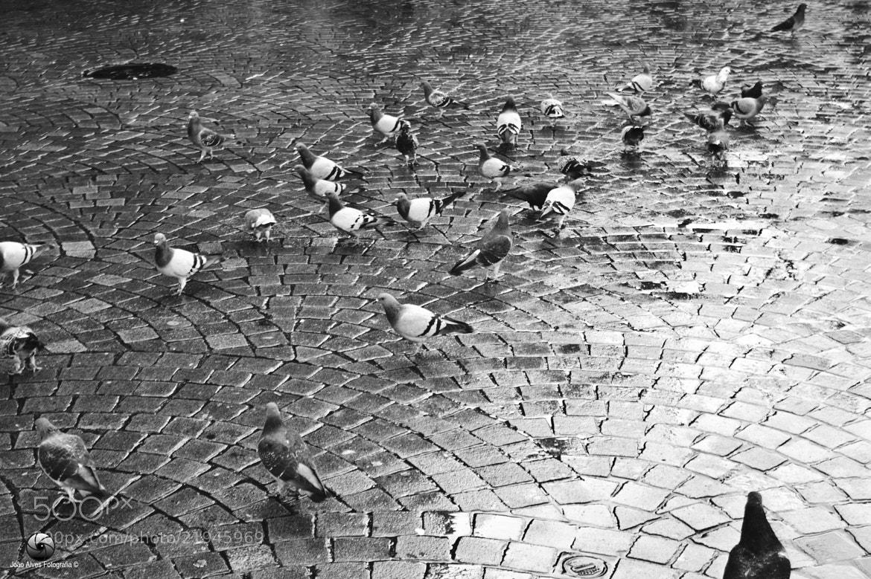Photograph Pombas by Joao Alves on 500px
