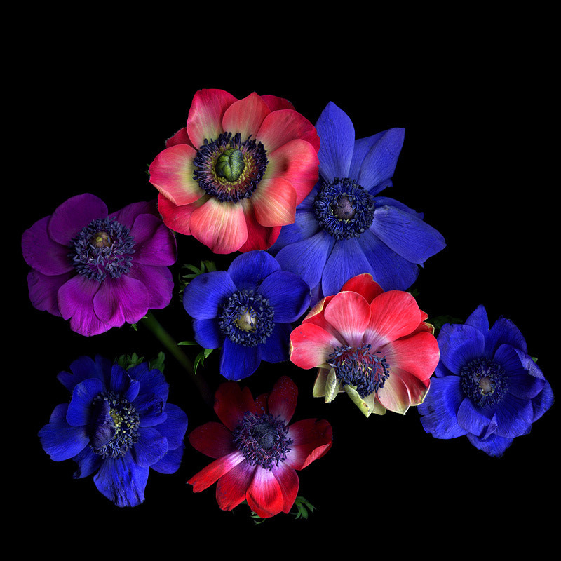 Photograph  A FRIVOLITY of ANEMONES for THE NEW YEAR... by Magda Indigo on 500px