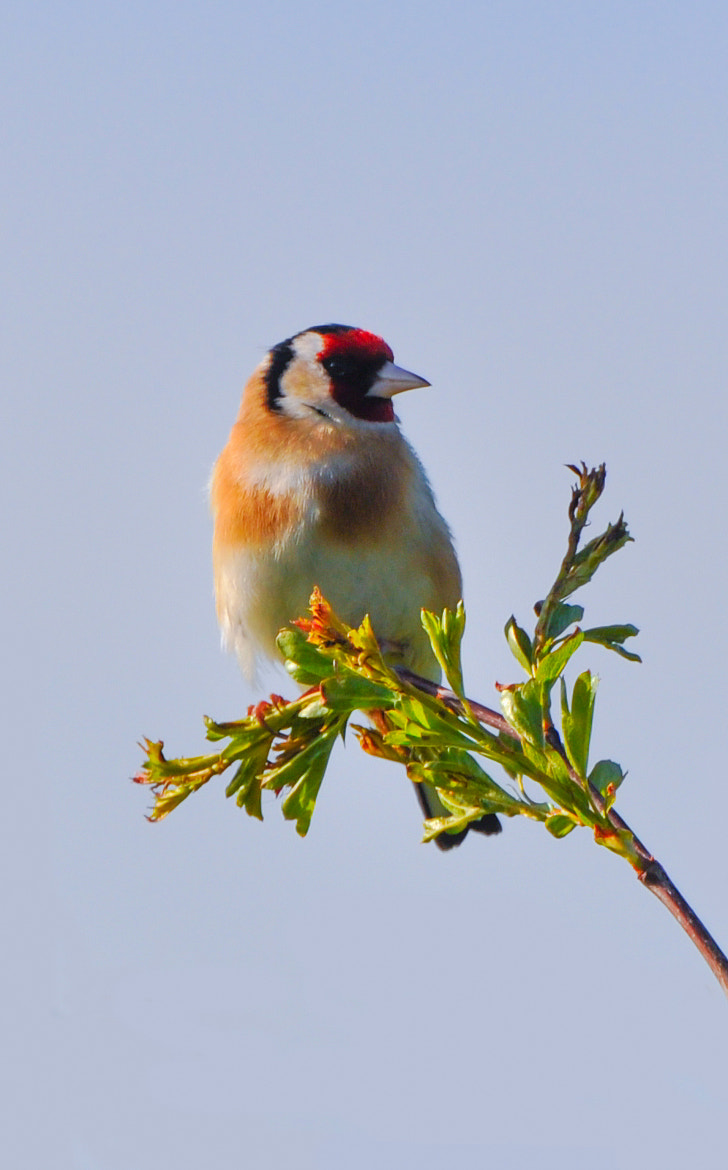 Photograph UK Goldfinch  by Phil Scarlett on 500px
