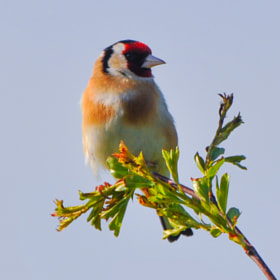 UK Goldfinch  by Phil Scarlett (philscarlett)) on 500px.com