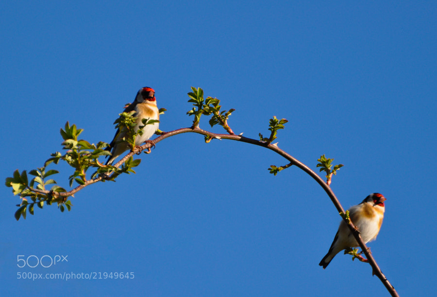 Photograph Goldfinch Pair by Phil Scarlett on 500px