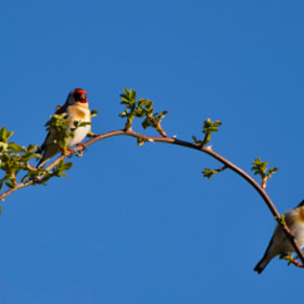 Goldfinch Pair by Phil Scarlett (philscarlett)) on 500px.com