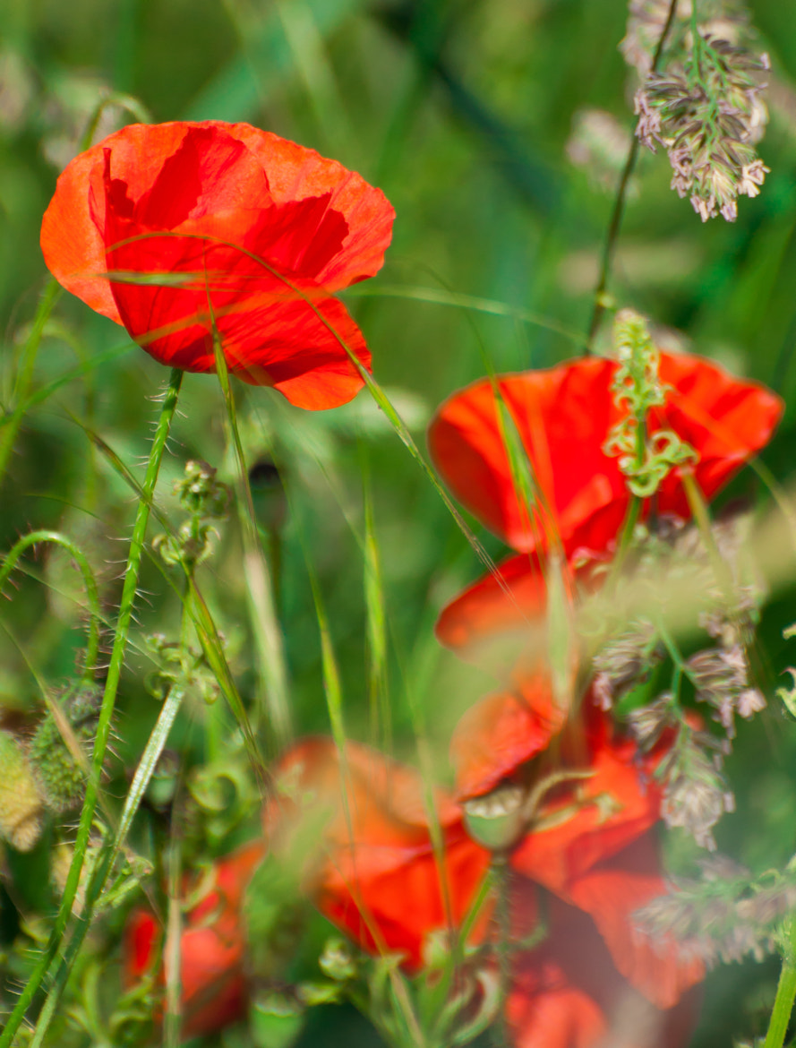 Photograph French Poppies by Phil Scarlett on 500px