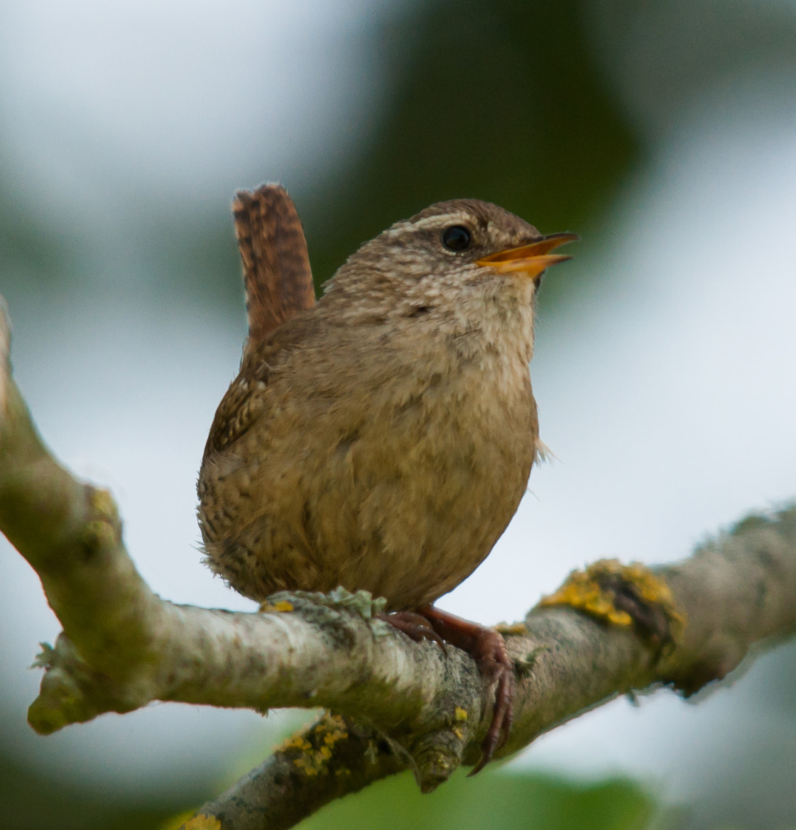 Photograph Wren by Phil Scarlett on 500px