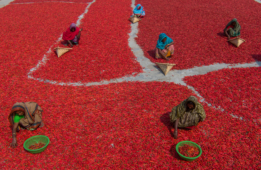 Women collecting red chilies by Azim Khan Ronnie on 500px.com