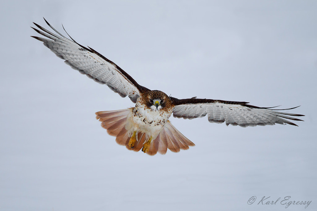 Photograph Red-tailed Hawk by Karl Egressy on 500px