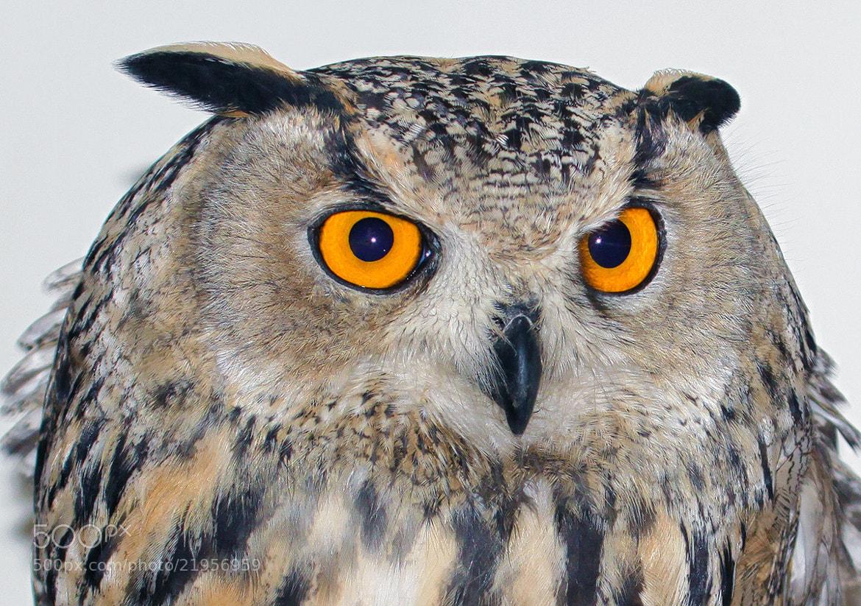 Photograph  Eagle-Owl by Asghar Mohammadi Nasrabadi on 500px