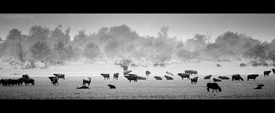 Photograph Buffaloes by Hristo Peshev on 500px
