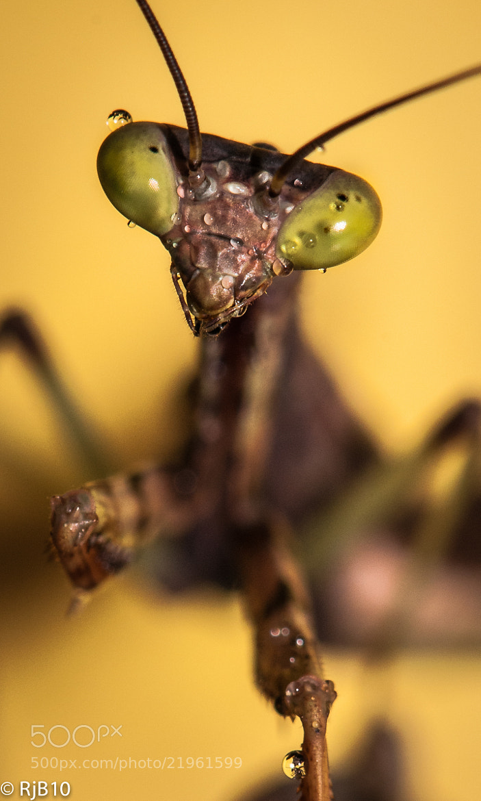 Photograph Portrait of Mantis  by Rob Bunday on 500px