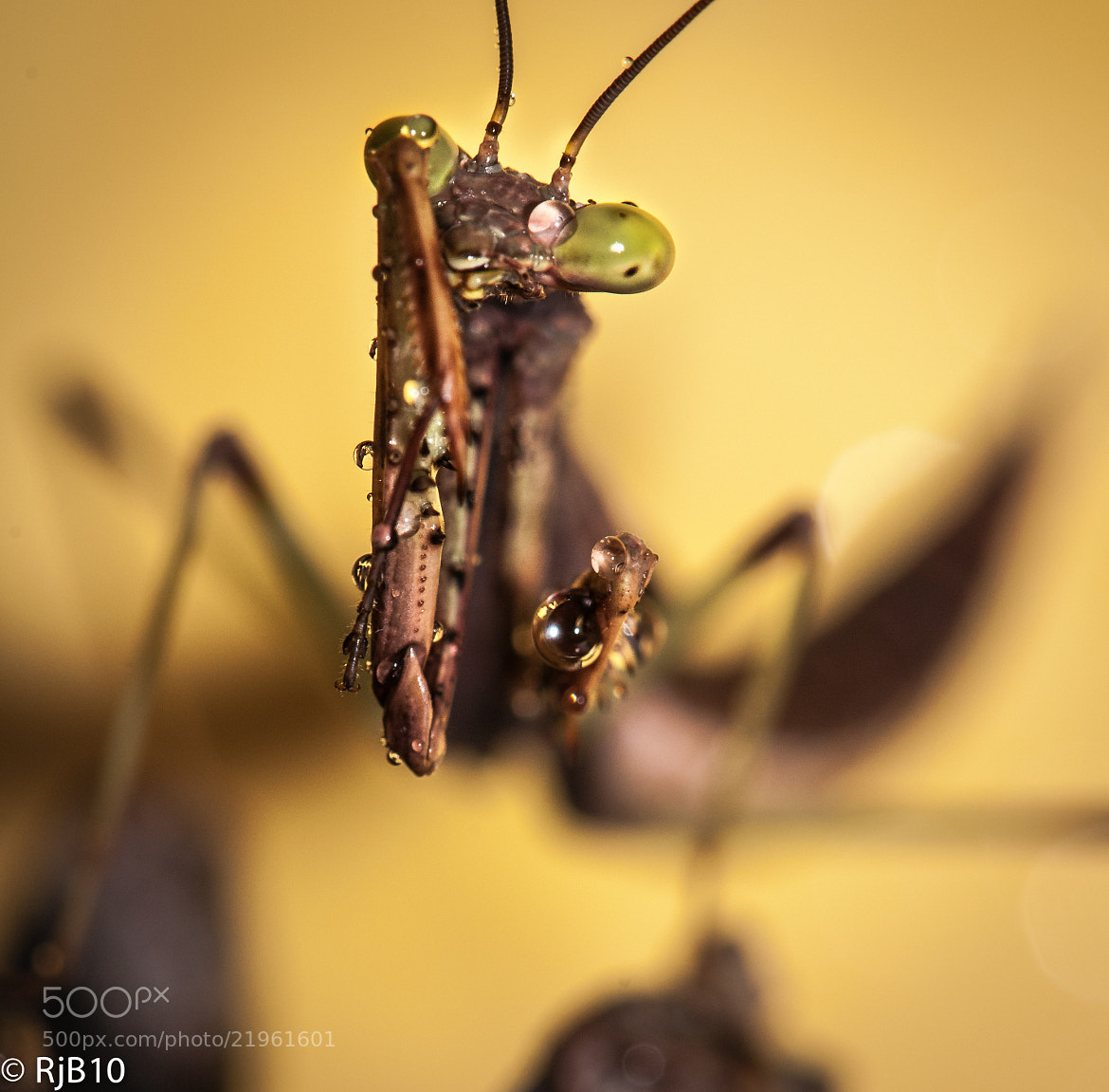 Photograph Cleaning Mantis by Rob Bunday on 500px