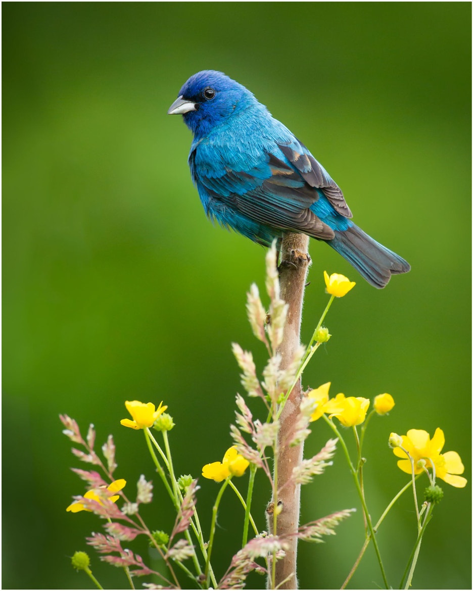 Photograph Indigo Bunting by Pierre Giard on 500px