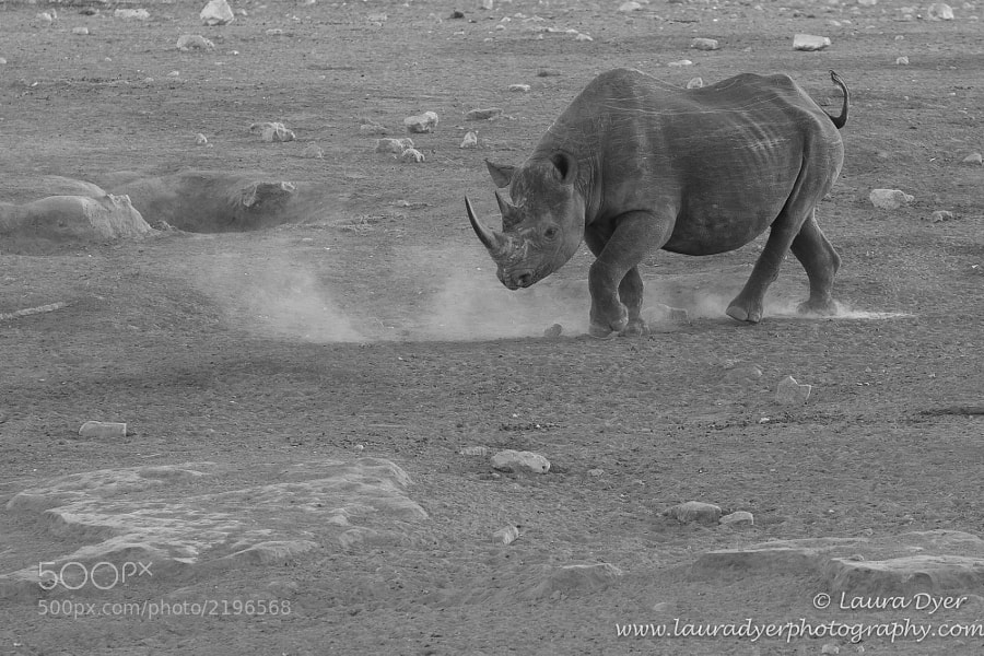 Beautiful Black Rhino making his way towards water. It was December, before the rains, so the ground was dusty and dry.