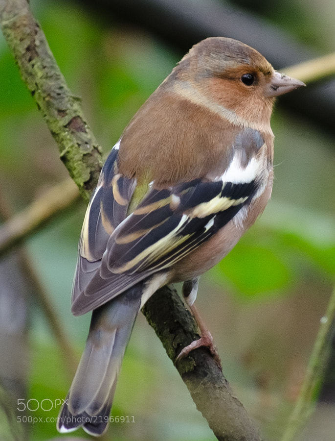 Photograph Female Chaffinch - Pennington Flash by Allan Hamer on 500px