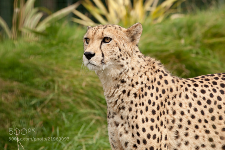 Photograph Cheetah by steven  whitehead on 500px