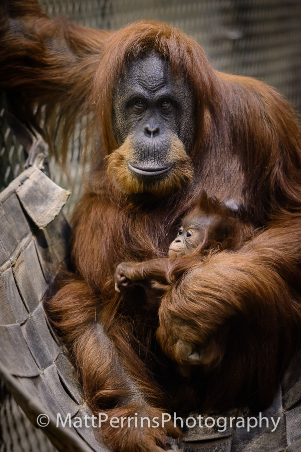 Photograph Orangutan Mother and Child at Chester Zoo by Matt Perrins on 500px