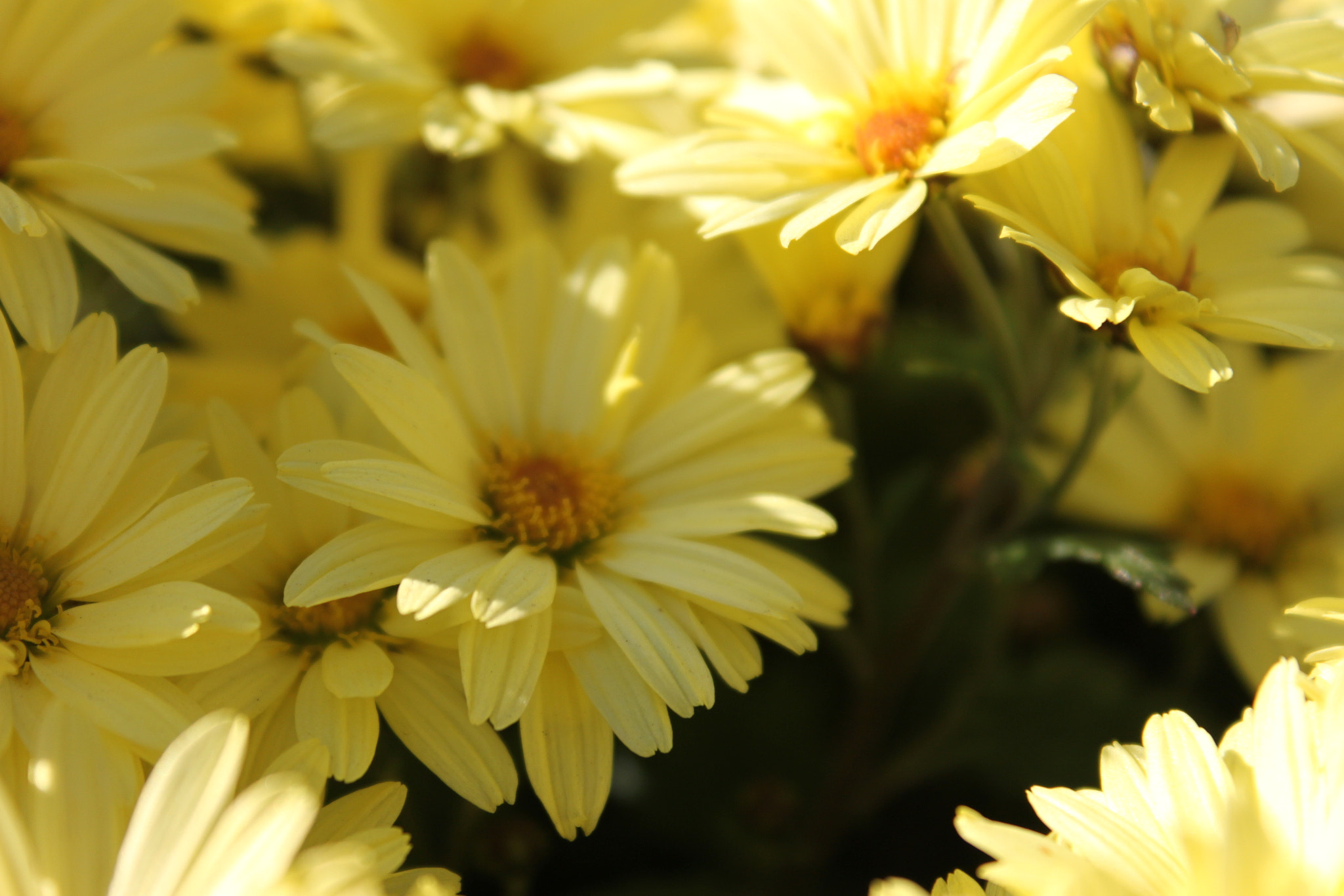 Photograph Camomile by Andrei Dolghier on 500px