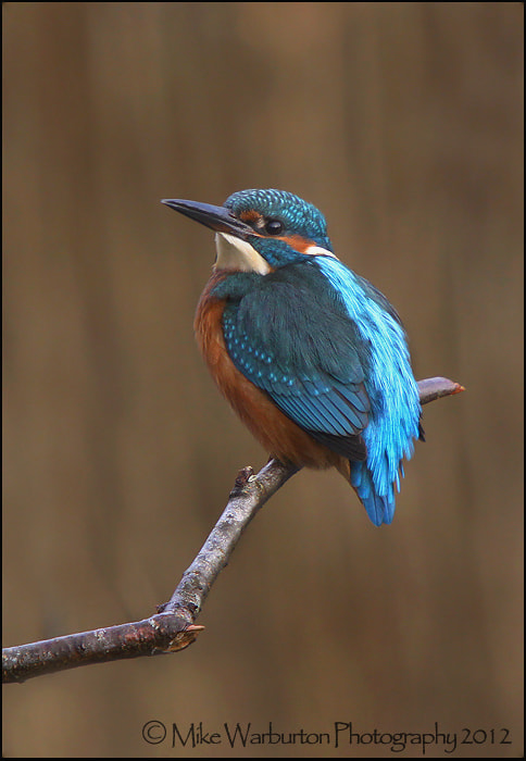 Photograph Kingfisher by Mike Warburton on 500px