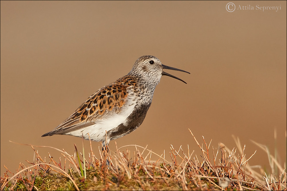 Photograph Dunlin by Attila Seprenyi on 500px