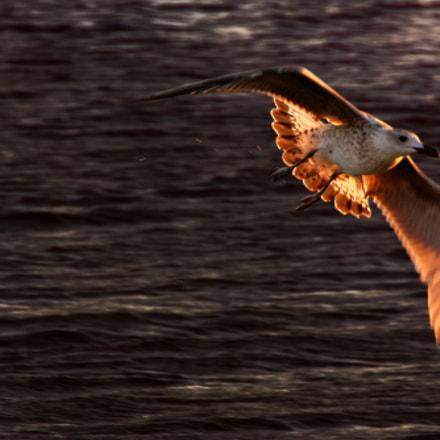 Mediterranean Gull (Larus michahellis)