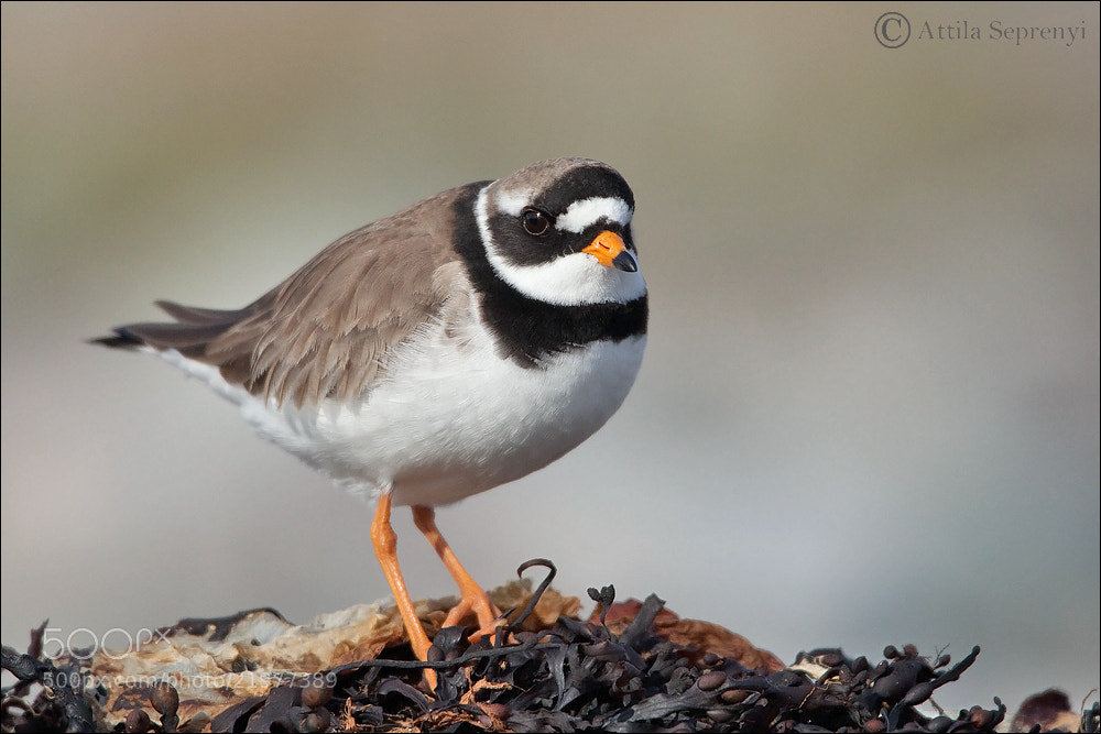Photograph Ringed Plover by Attila Seprenyi on 500px